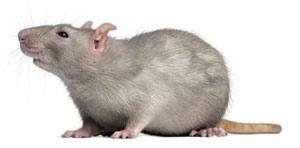 rata gris