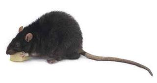 rata-negra