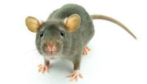raton-domestico