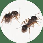 fumigacion hormigas