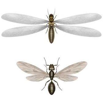 diferencia termita hormiga con alas