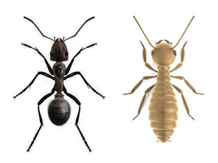 diferencia termita hormiga