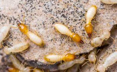 empresas eliminacion termitas