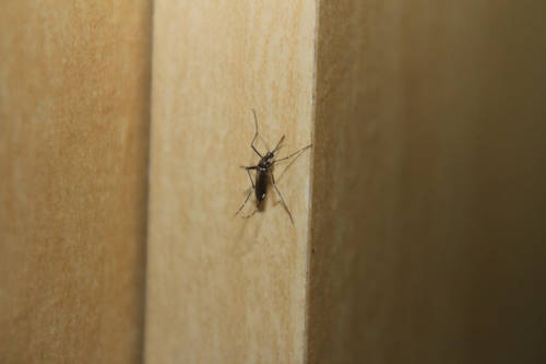 Alerta ante el incremento de la plaga de mosquitos este verano