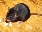 Llega la rata negra a Madrid, un enemigo en la lucha contra las plagas