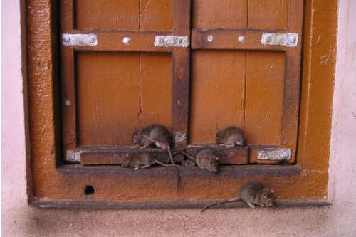 Motivos de la aparición de una plaga de ratas en un hogar