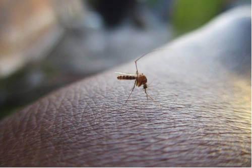 ¿Por qué los mosquitos prefieren a algunas personas?