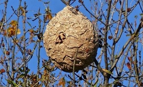 Anecpla urge a controlar la plaga de la avispa asiática antes de la primavera