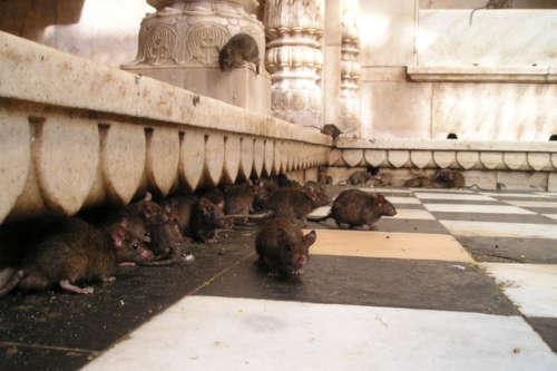 La rata negra en Madrid no está considerado como plaga