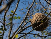 Trampas para el control de plaga de avispa asiática en Trapagaran