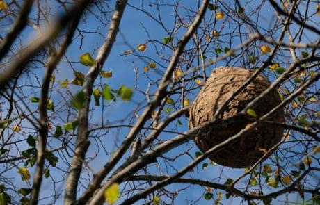 Trampas para el control de plaga de avispa asiática en Trapagaran (Bizkaia)
