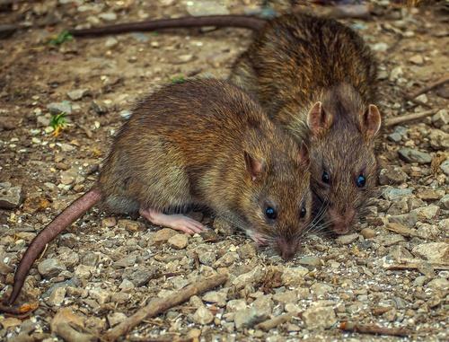 Reclaman una mejora en el control de plagas de ratas en Basauri (Bizkaia)