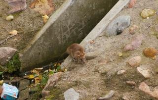 Cómo determinar la infestación de una plaga de ratas en Bilbao