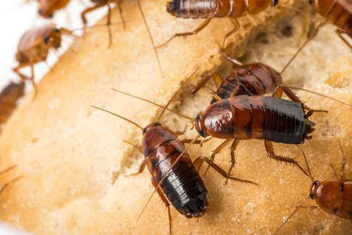 Cómo saber si hay cucarachas en casa