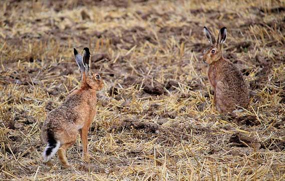 conejos plagas roedores