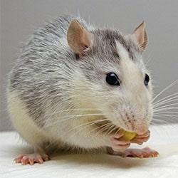 control de plagas de ratas