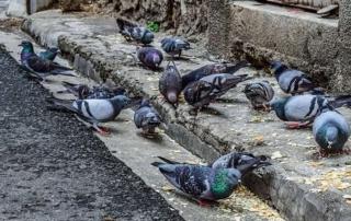 Guadalajara idea un plan para luchar contra la plaga de palomas
