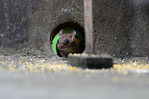 Las plagas de cucarachas y roedores un grave problema para la sociedad