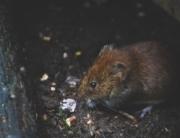 El coronavirus también afecta a las plagas de ratas