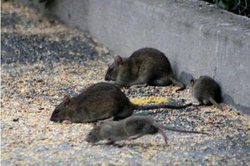 Un estudio revela cuántas ratas viven con nosotros