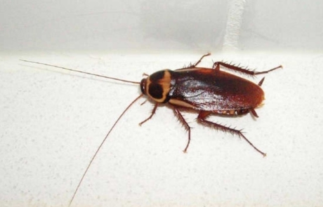 Cucaracha Austaliana
