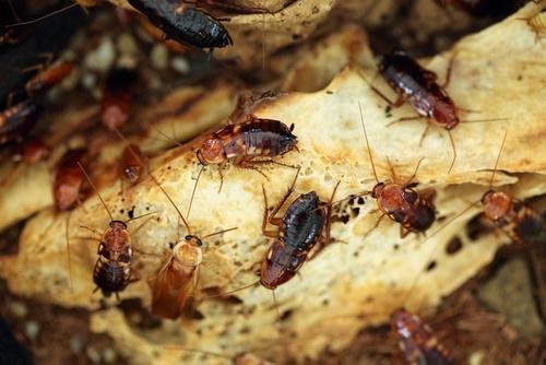 China utiliza millones de cucarachas para eliminar restos de basura
