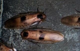 cucarachas curiosidades