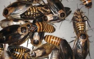 cucarachas gigantes