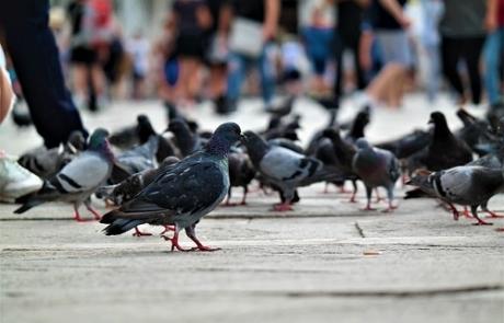 Control de palomas en Durango, Bizkaia