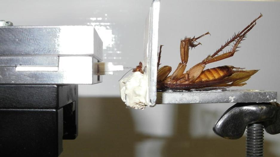 Mordedura cucarachas