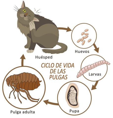 Fumigación de pulgas