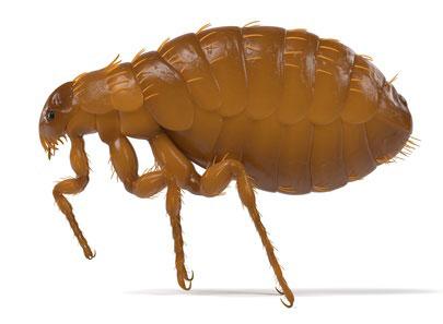 fumigacion pulgas