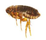 fumigadores de pulgas