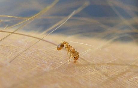 Hormiga de fuego descubierta en Marbella
