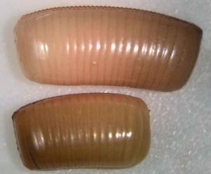 ooteca cucaracha alemana