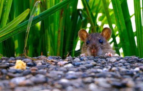 La importancia de las inspecciones en las plagas de ratas en Bizkaia