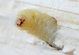larva carcoma