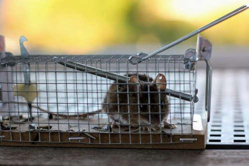 Métodos no tóxicos para el control de plagas de roedores