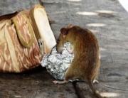 Incremento de plagas de ratas y cucarachas en Bilbao este verano