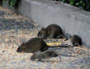 El uso de rodenticidas para el control de roedores bajo examen