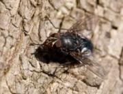 Plaga de mosca negra en Bizkaia