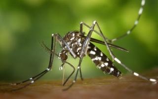 plaga mosquito tigre
