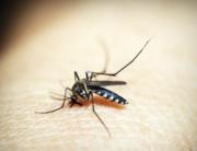 Aumento de la plaga de mosquito tigre este año