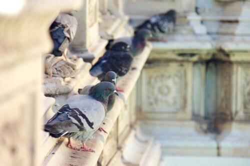 León captura más de 8.300 palomas en los últimos seis años