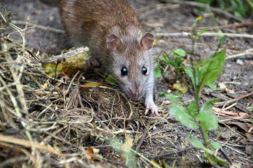 Localizan una plaga de ratas en Pobeña (Vizcaya)