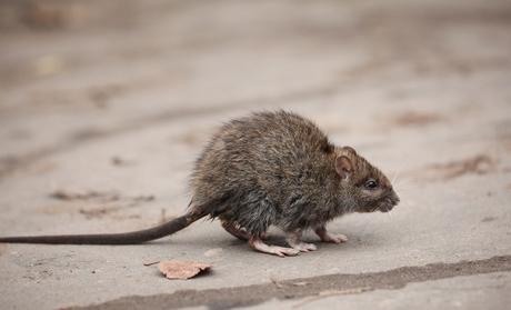 Plaga de ratas en Santurtzi