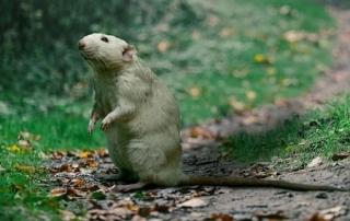 remedios eliminar ratas