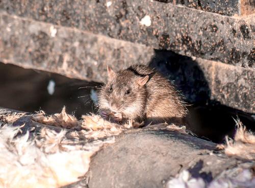 Ugao-Miraballes (Bizkaia) instala un sistema inteligente para controlar roedores