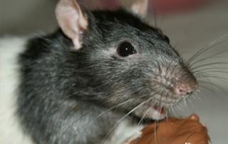 veneno ratas